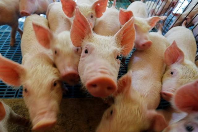 Paraná integra projeto nacional para modernização na vigilância sanitária de suínos