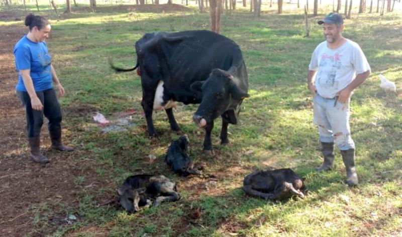 Inseminação artificial resultou num raro nascimento de bezerros trigêmeos em Goioerê