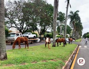 Cavalos soltos na Avenida Mauro Mori causam transtorno e perigo aos usuários da rodovia