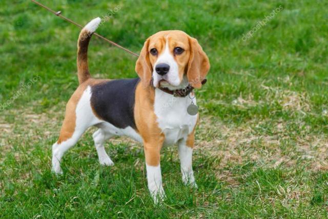 Estudo mostra que cães podem farejar câncer em amostras de sangue
