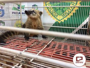 Polícia Ambiental de Umuarama resgata quati e pássaros mantidos em Cativeiro
