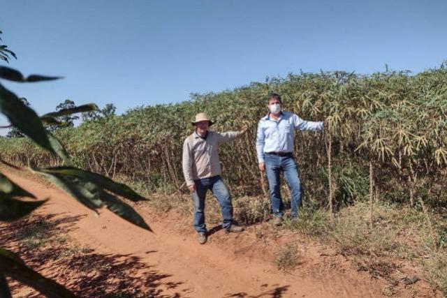 Sucesso de nova variedade de mandioca é exemplo da sintonia entre pesquisa e extensão