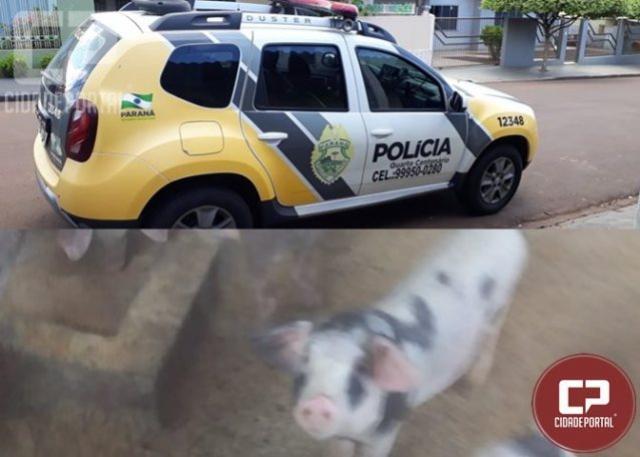 Furto de porcos na área rural de Quarto Centenário deixa prejuízos para criadores